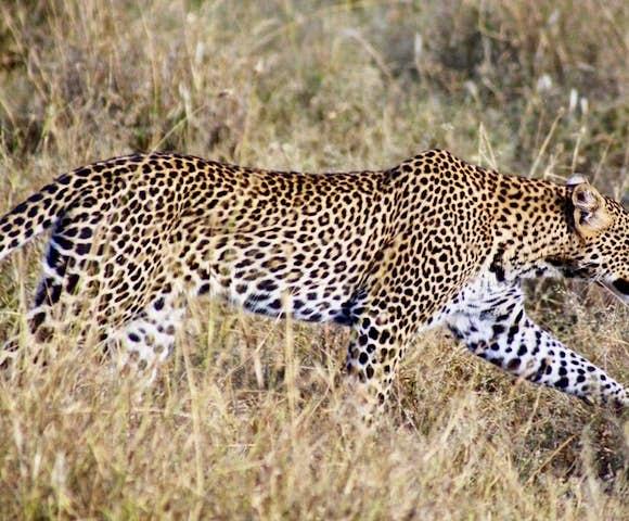 Leopards in Liosaba Conservancy