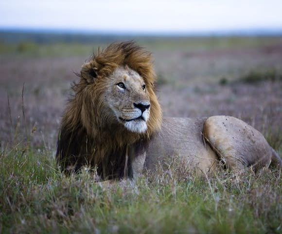 Lions in Maasai Mara