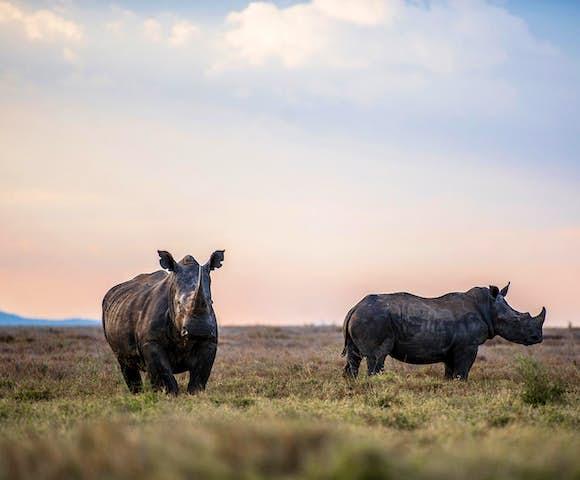 Black rhinos in Lewa Wildlife Conservancy, Kenya
