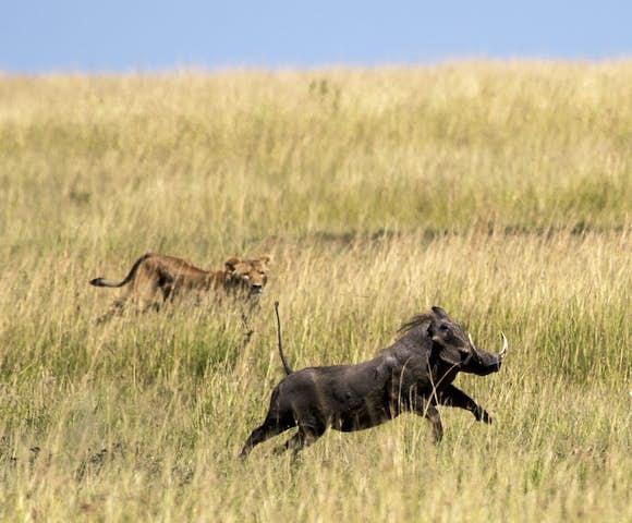 Lion hunting warthog in Maasai Mara, Kenya