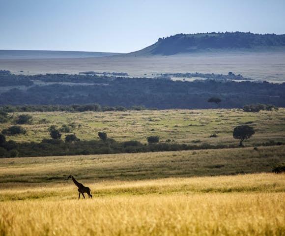 Giraffe in the Maasai Mara, Kenya