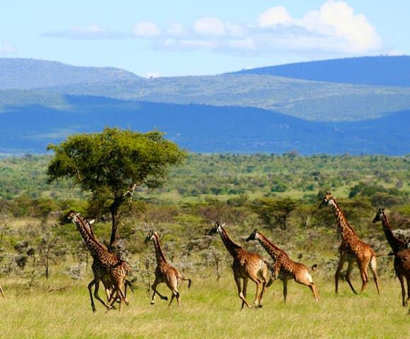 Maasai Mara Giraffes in Kenya