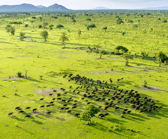 Buffaloes in Selous Game Reserve, Tanzania