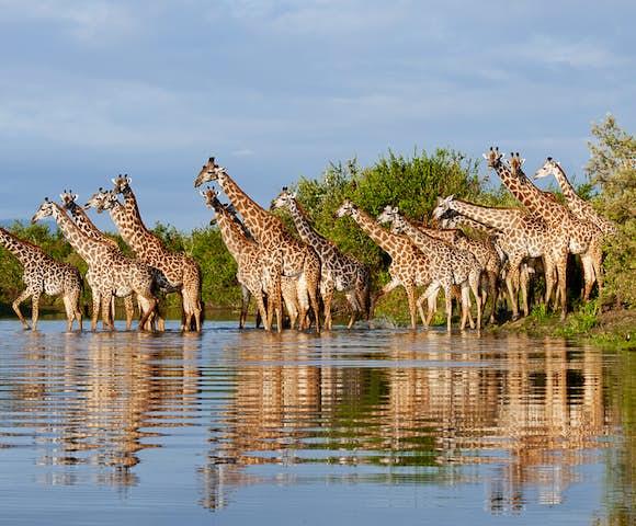 Giraffes in lake at Selous Game Reserve, Tanzania