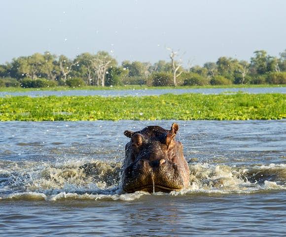 Hippo in lake at Selous Game Reserve, Tanzania